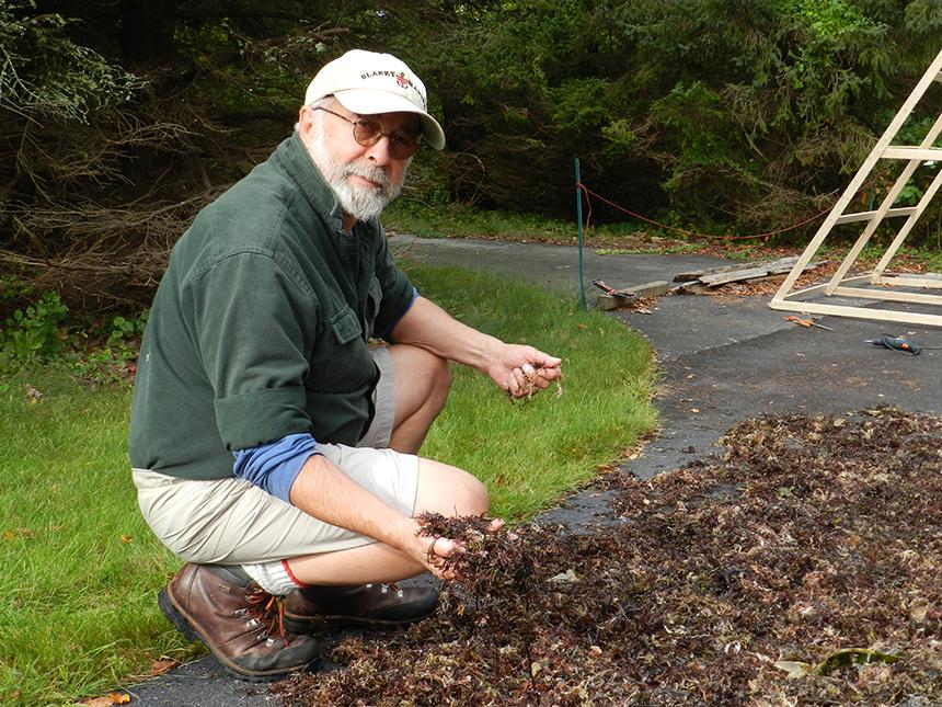 David Blaney with some Irish moss left out to dry. (Judee Burr/ecoRI News photos)