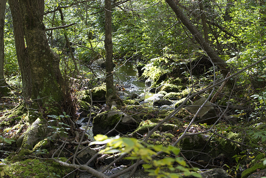 The dominant forest of Weetamoo Woods in Tiverton is coastal oak-holly. The preserved property also features an Atlantic white cedar swamp. (Joanna Detz/ecoRI News)