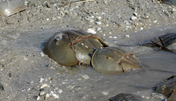 Rhode Island horseshoe crabs spawn in April and May. (USFWS)