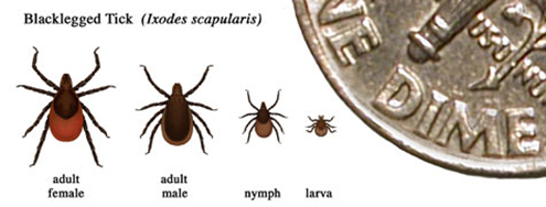 The approximate size and coloration of black-legged ticks. Larvae are about the size of a poppy seed, nymphs are about the size of a pin-head, and adults are about the size of an apple seed. (CDC)