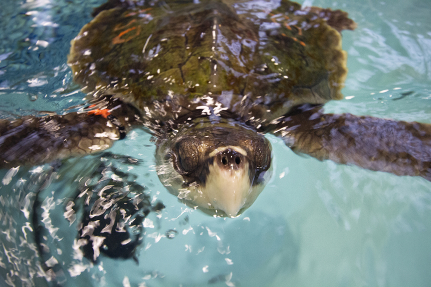 Kemp's ridley sea turtles are the most common species to be stranded on Cape Cod.