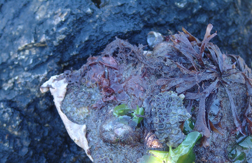 Preliminary research results have found 100 microplastic particles in northern star coral polyps. In the photo above, the northern star coral is attached to a rock and near green alga, commonly called sea lettuce, and red alga. (Frank Carini/ecoRI News)