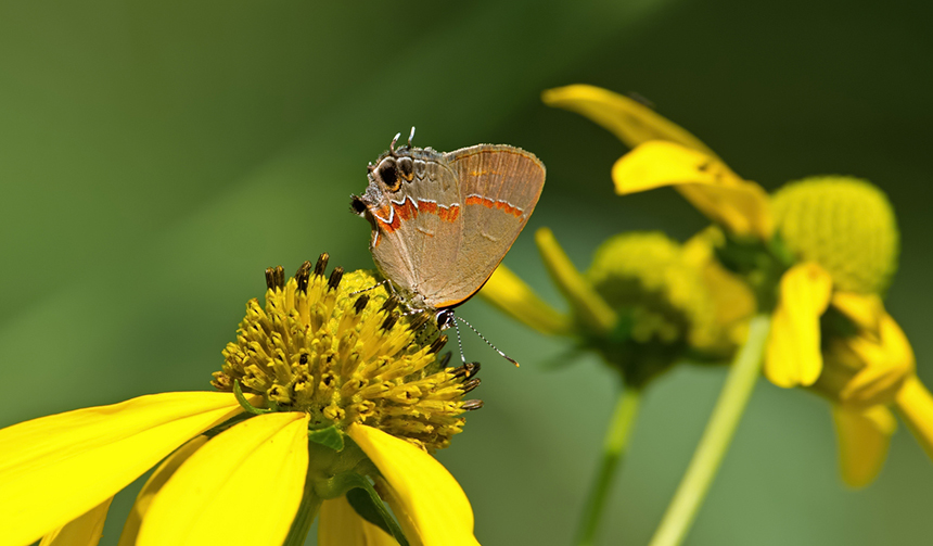 Rhode Island butterfly observers did notice increased sightings of southern species this year, such as the red-banded hairstreak. (istock)