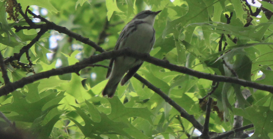 This male cerulean warbler was photographed May 28, 2016 in the Buck Hill Management Area in Burrillville, R.I. The bird is listed as a state-endangered species. (Dylan Pedro)