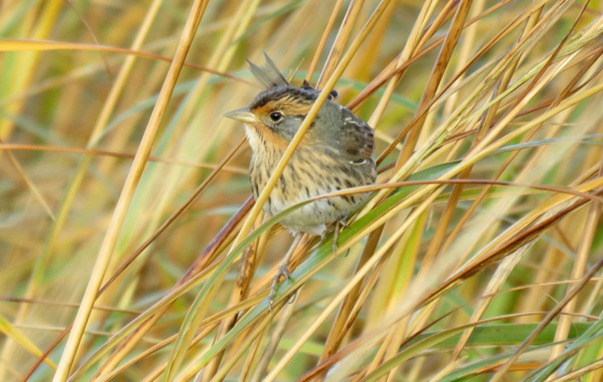 Salt marshes provide habitat for one of the East Coast's rarest birds: the saltmarsh sparrow. (ACJV)