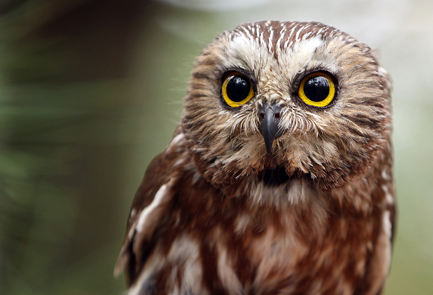Northern saw-whet owls are the smallest owl to be found in Rhode Island. (Megan Lorenz/istock)