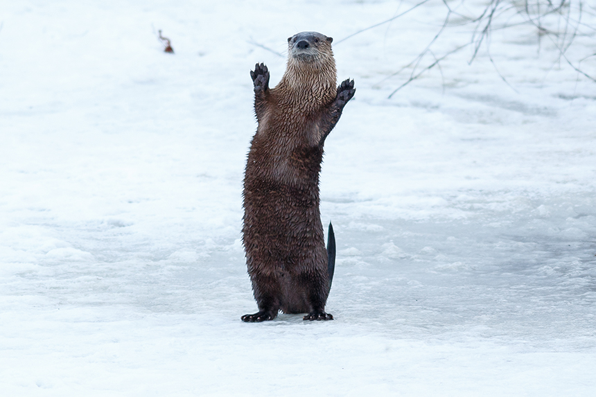 River otters don't mind the cold, as they can chew holes in the ice to gain access to a pond. (istock)
