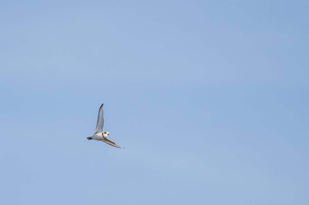 The studies will determine the impact offshore wind turbines have on birds, such as piping plovers. (istock)