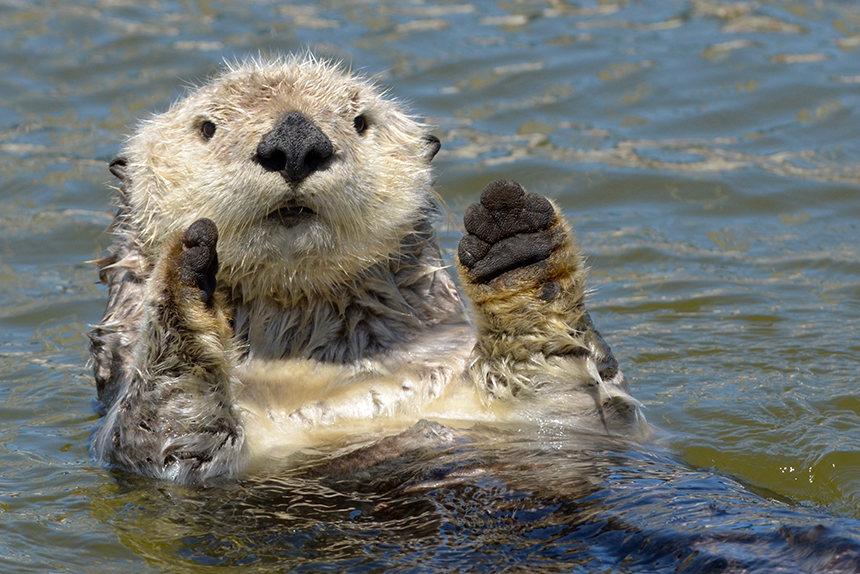 Todd McLeish's latest book takes a deep dive into the life and times of sea otters. (Michael Yang)