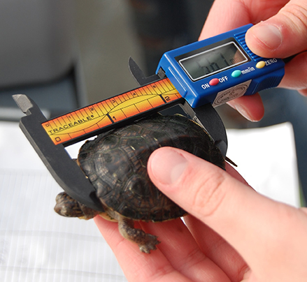 The students weigh, measure and sort the Blanding's turtles by size.