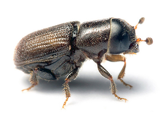 Tiny southern pine beetles can accumulate by the thousands on a single tree and kill it in two weeks. (Matt Bertone /N.C. State University)