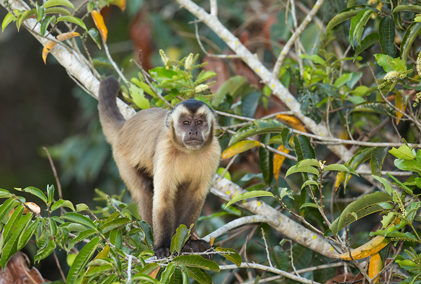 Mary Baker brings RIC students with her to Costa Rica to study capuchin monkeys, to watch what and how they learn. (istock)