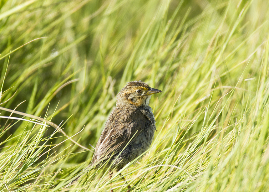 The species' likely extinction is linked to its preference for nesting in marsh grasses just inches from the ground. (istock)
