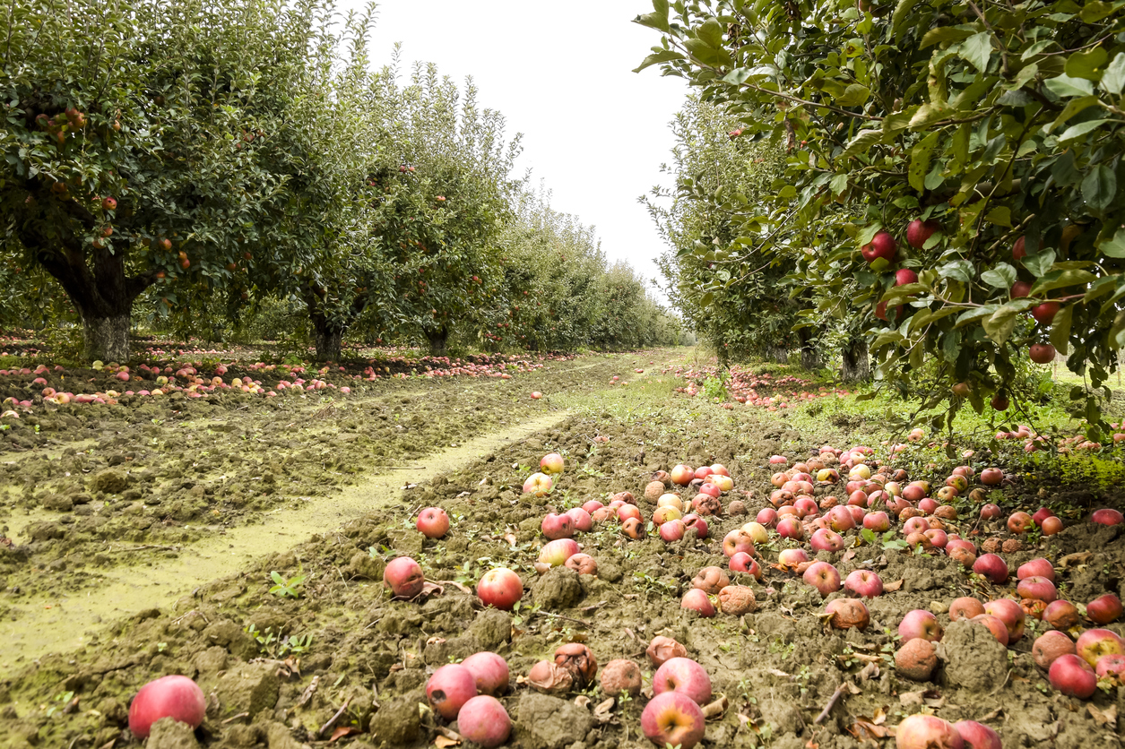 The U.S. Department of Agriculture estimates that 4 percent of planted vegetable and fruit fields are left unharvested annually. (istock)