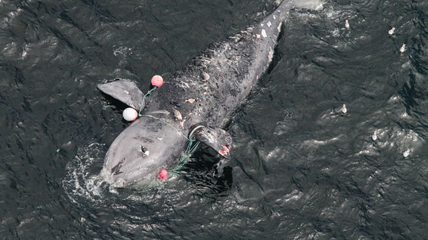 This female right whale died last year off Canada's coast after dragging snow crab traps for days. (Peter Duley/NOAA)
