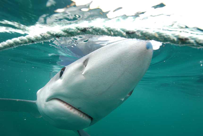 Blue sharks will cruise right along the water's surface and nose in to the camera for a photo.
