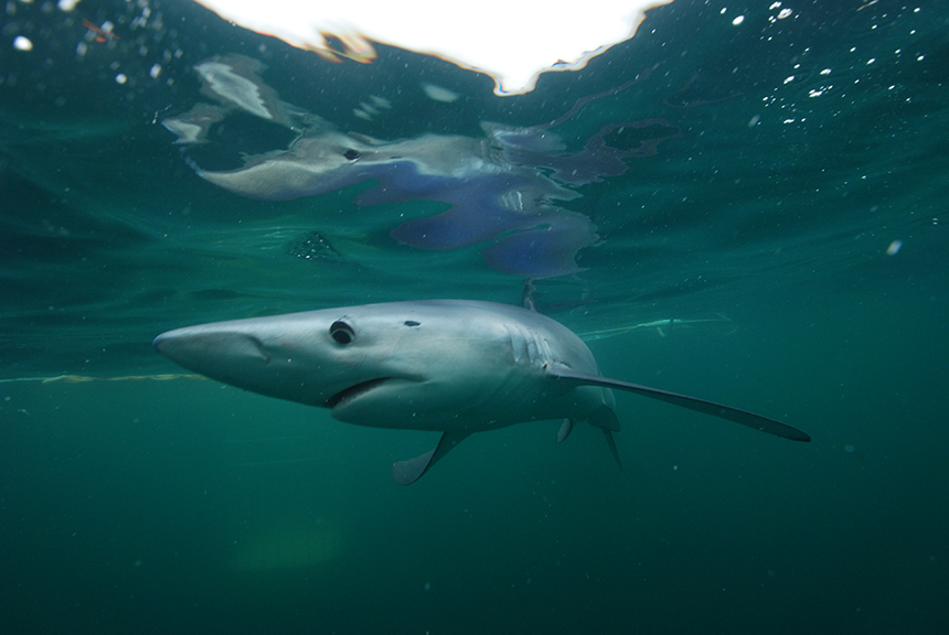 Blue Sharks: A Sight to Behold in Rhode Island Waters