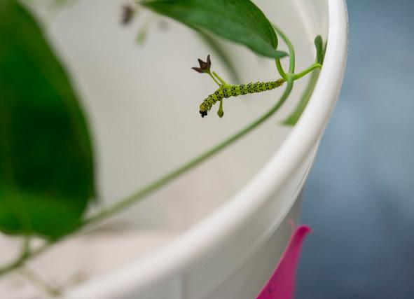 A Hypena opulenta caterpillar in the lab.