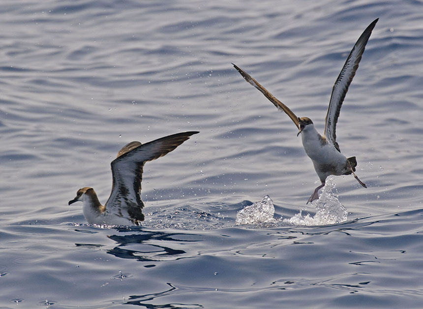 Shearwaters are long-winged birds that skim the surface of the waves as they search for marine organisms on which to feed. (istock)
