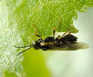 An adult birch leafminer. (Cheryl Moorehead/Bugwood.org)