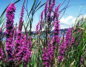 Purple loosestrife is a wetland invasive.