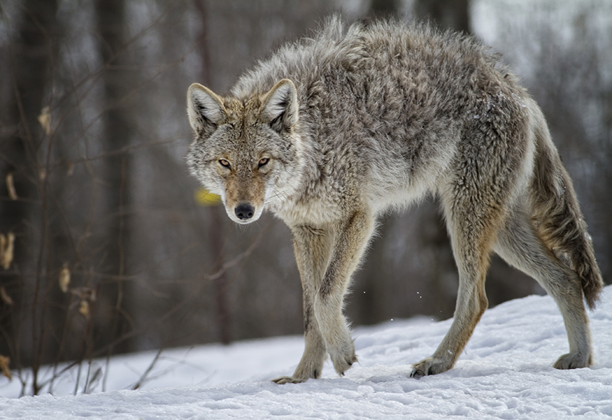 Coyotes and humans can co-exist safely in even densely developed neighborhoods as long as coyotes don't come to associate humans with food. (istock)
