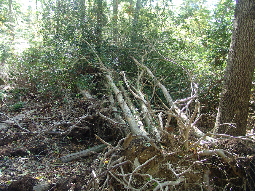 Preliminary damage from a possible solar facility on the property included the clearing of these American holly trees.