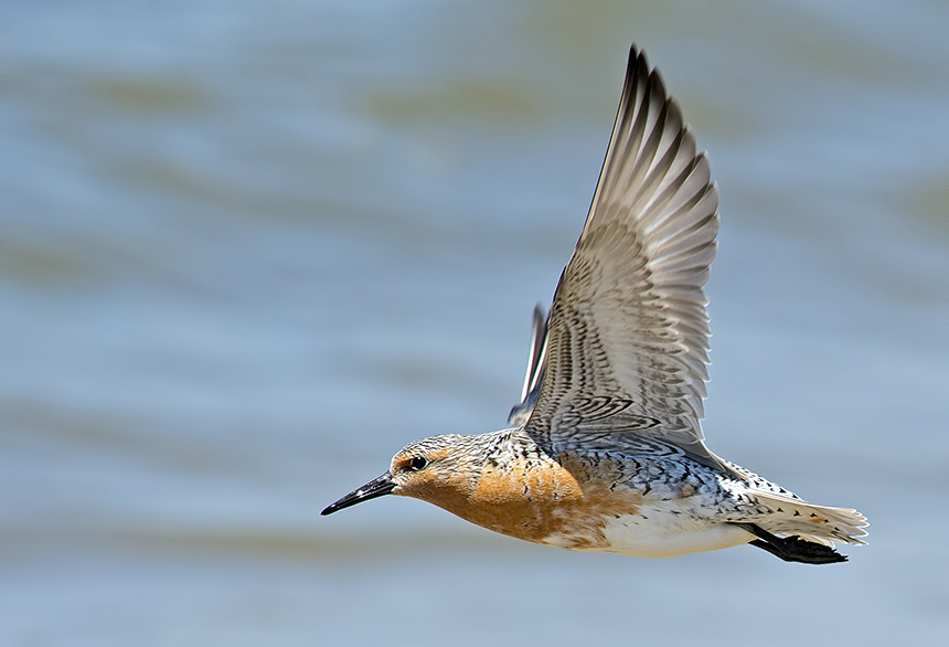 The rufa subspecies of the red knot is a federally threatened bird whose populations have declined precipitously in recent decades. (istock)