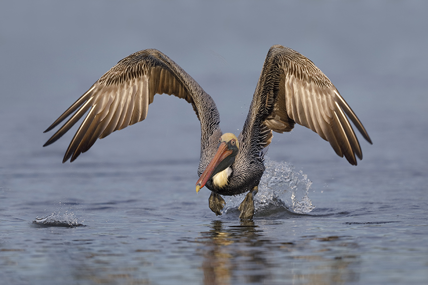 Brown pelicans are permanent residents on the East Coast south of Virginia, but occasionally land in Rhode Island waters, like one did in early January. (istock)