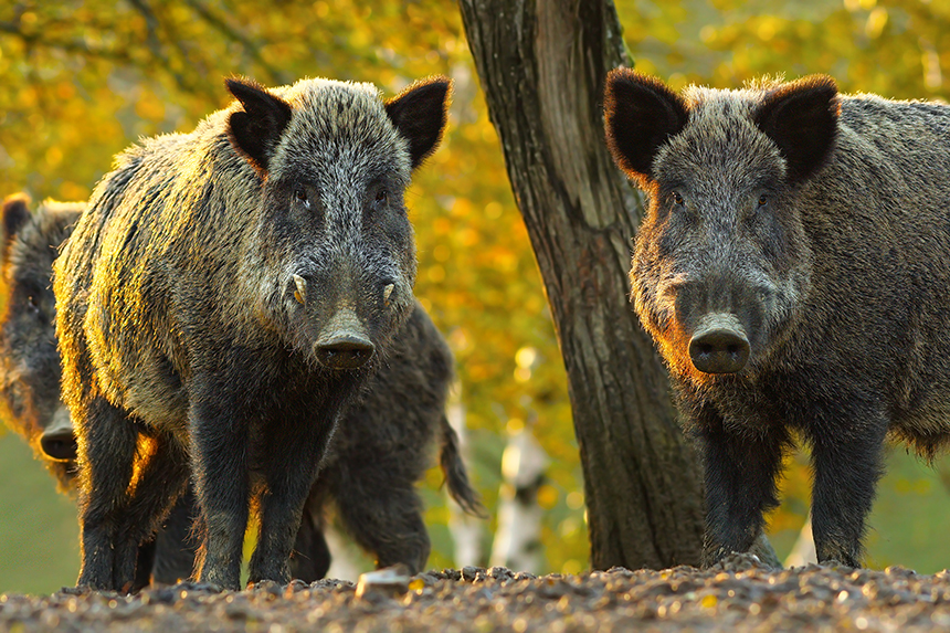 The importation of wild hogs, which are notoriously difficult to contain in fenced enclosures, for captive hunting would have serious environmental and economic impacts if they became established on the Rhode Island landscape. (istock)