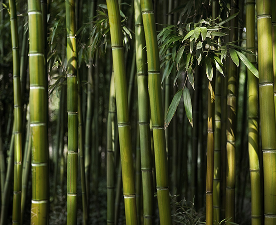 Bill would regulate running bamboo, a fast-spreading plant with quick-growing roots. (istock)