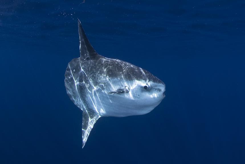 Ocean sunfish are the world's largest bony fish. (istock)