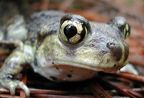 There is just one population of eastern spadefoot toads left in Rhode Island. (Brad Timm)