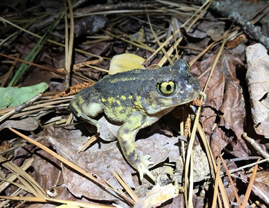 Spadefoot toads have stout bodies that reach about 2.5 inches in length. Their hind feet are large and contain hard tissue that allows them to function as 'spades' for digging in loose soils. (Nancy Karraker)