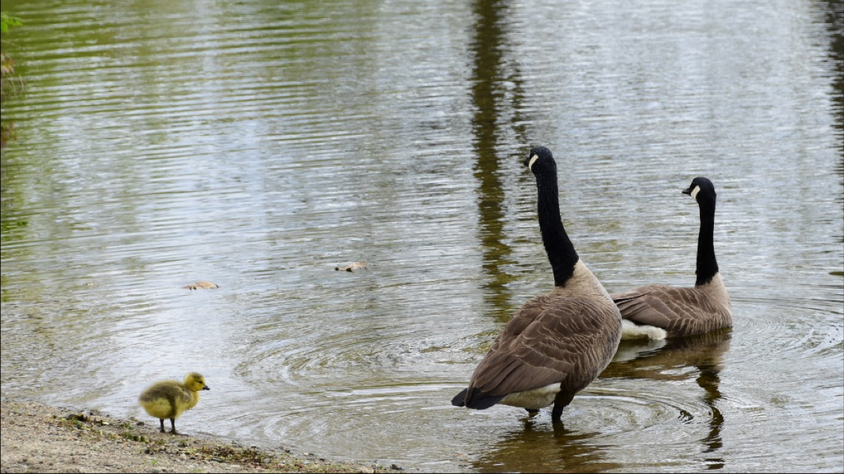 The protective parents of this gosling assure the chick that it is safe to take a swim.