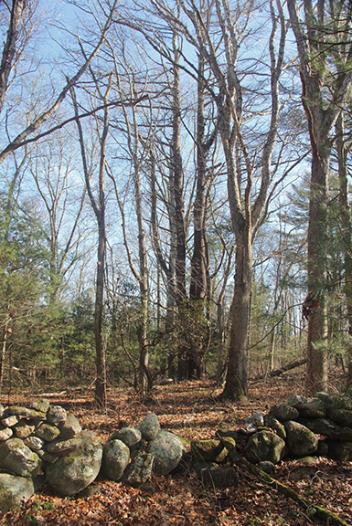Historic stone walls dot the recently preserved property in Charlestown, R.I. (DEM)