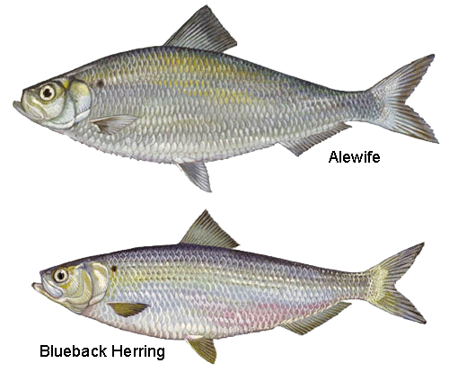 Alewife and blueback herring populations plunged to historic lows in the early 2000s, but efforts to restore access to their native spawning grounds are beginning to pay off. (U.S. Fish & Wildlife Service)