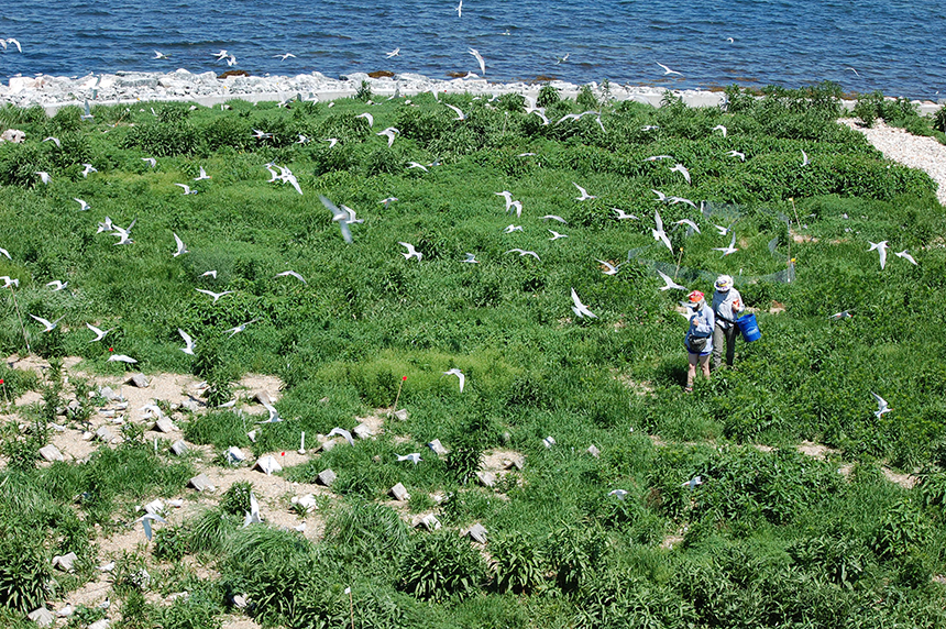 Biologist Carolyn Mostello and her team have been monitoring the terns on Buzzards Bay islands for two decades.