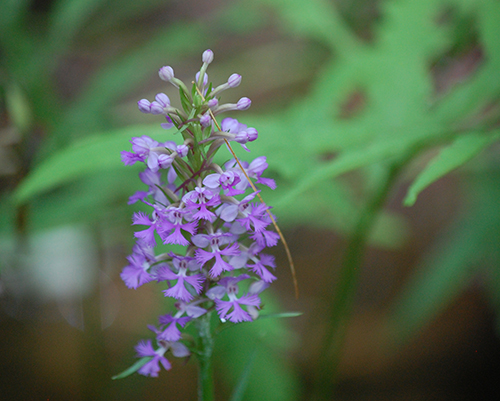Lesser purple fringed orchid.