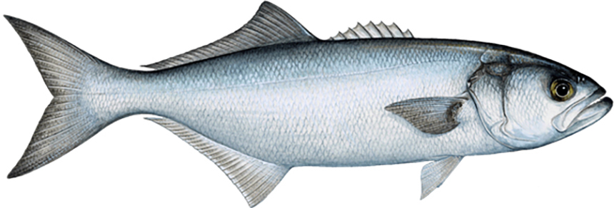 The Atlantic bluefish fishery operates from Maine to Florida, and the recreational sector accounts for most of the bluefish caught annually. (Seafood Watch)