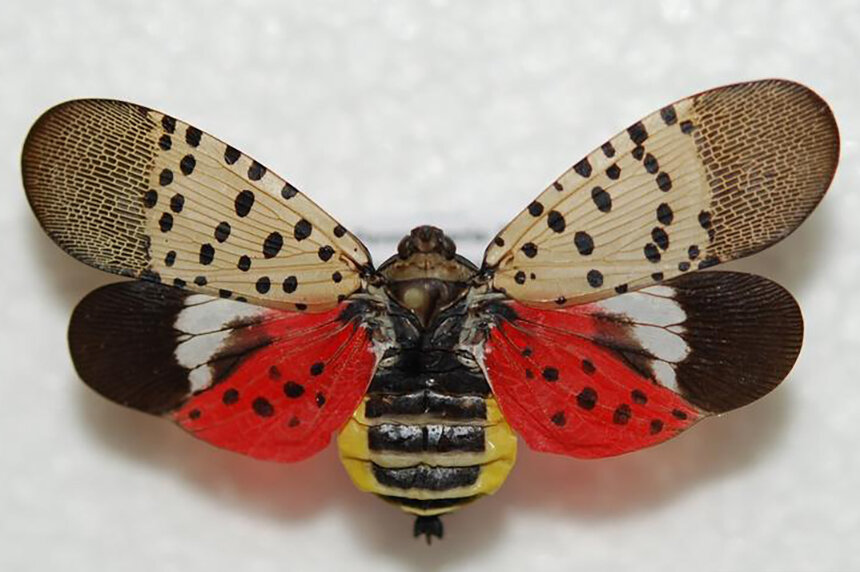 Hailing from Asia, the spotted lanternfly made its first documented U.S. appearance five years ago. It has since been found in Connecticut and Massachusetts. (Lawrence Barringer/Pennsylvania Department of Agriculture)