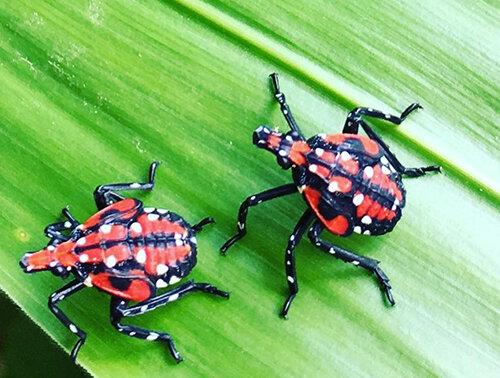 Spotted lanternfly nymphs. (Cynthia Kwolek/DEM)