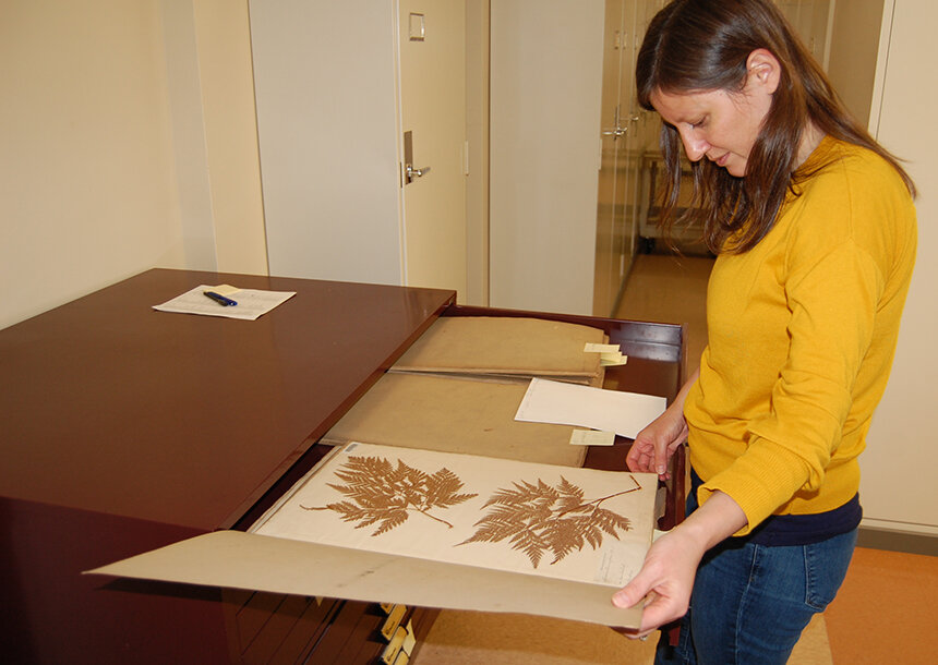 Rebecca Kartzinel, director of the Brown University Herbarium, examines a plant specimen collected more than 100 years ago. (Todd McLeish/ecoRI News)