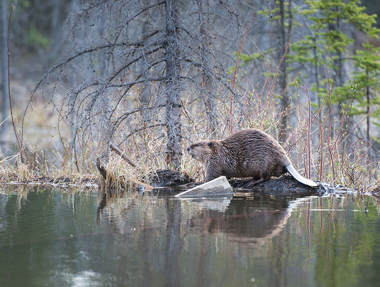 Beaver, photo istock