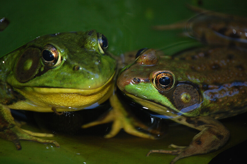 An infectious fungal disease that is responsible for amphibian die-offs around the world could be a growing problem for amphibians in southern New England, such as these green frogs. (Todd McLeish/ecoRI News)