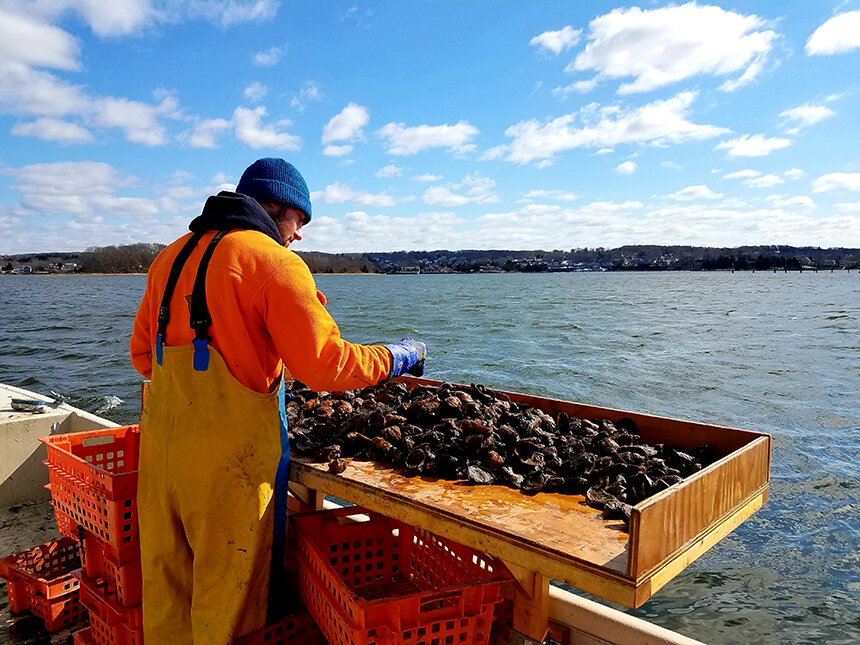 Toby Adams-Cook of Saltbox Sea Farm sorts through some of the aquaculture operation's oysters. (Matt Griffin photos)
