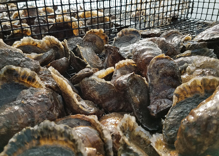 Most of the oysters grown at Rhode Island's aquaculture farms are sold to restaurants.