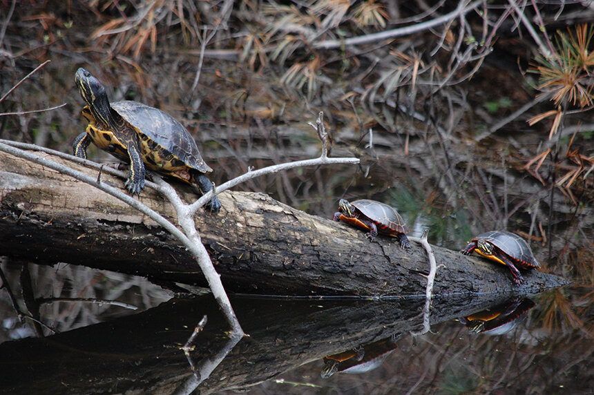A non-native red-eared slider, front, shares a Blackstone River log with two eastern painted turtles. (Todd McLeish/ecoRI News)