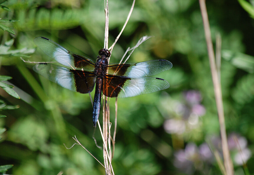 New Book Chronicles Dragonflies of Rhode Island