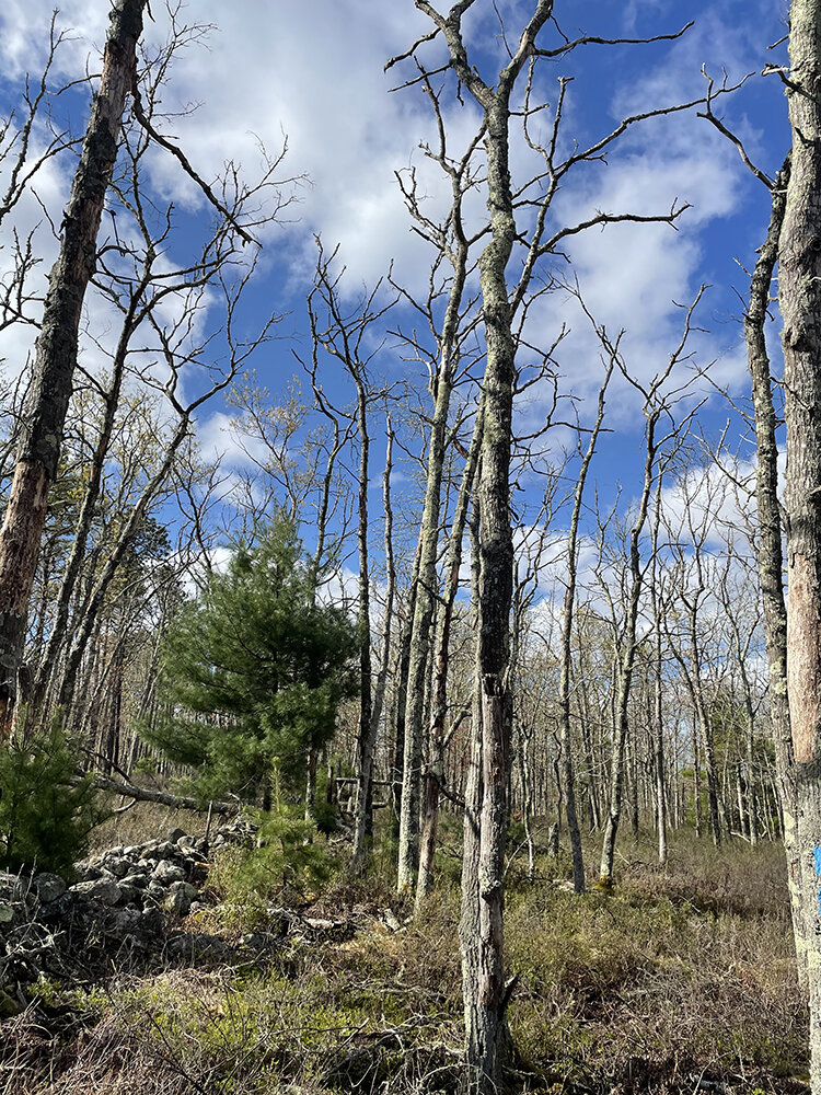 Most of the oak trees at the Francis C. Carter Preserve in Charlestown are dead, after a severe gypsy moth infestation caused defoliation over several years. (Cynthia Drummond/for ecoRI News)